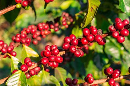 コーヒーの木を知っていますか? コーヒーの花と実 AGF®